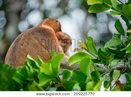 Proboscis Monkey Baby Sucks Its Mother's Breast Milk. Female Proboscis Monkey (nasalis Larvatus)  Wi