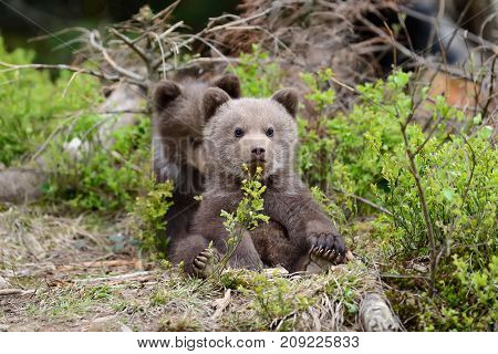 Two wild brown bear cub close up