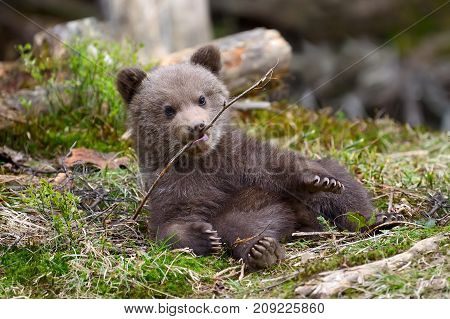 Close wild brown bear cub close up