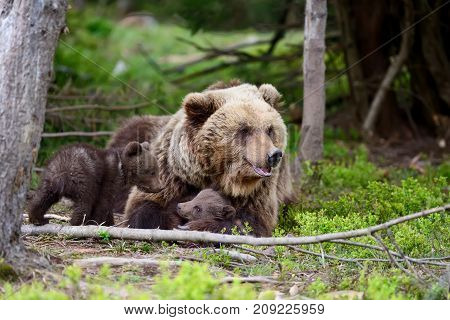 Big brown bear with cubs in forest