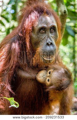 Orangutan Baby Sucks Its Mother's Breast Milk. Mother And Cub In A Natural Habitat. Bornean Oranguta