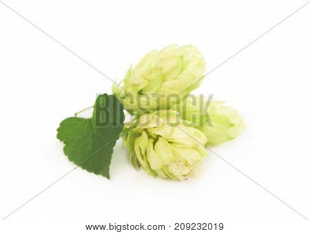 Pile of green hop cones isolated on white