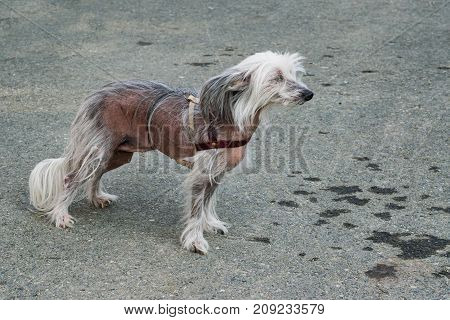 Dog breed Chinese crested closeup on the background of the tarmac,