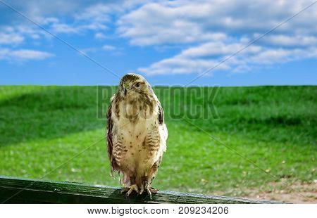 Large predatory bird eagle in captivity, sitting on a wooden railing on a background of green grass and blue sky,