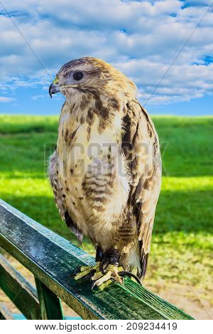 Large predatory bird eagle in captivity, sitting on a wooden railing on a background of green grass and blue sky, side view
