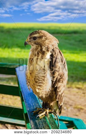 Large predatory bird eagle in captivity, sitting on a wooden railing on a background of green grass and blue sky