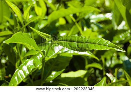 Macro tea leaf. Coonor, Nilgiri, India Tamil Nadu Plantation