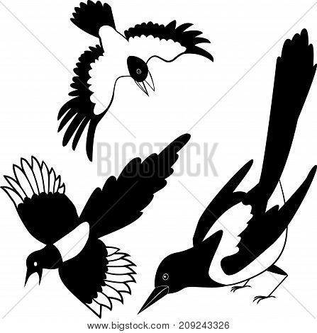 The black silhouette of a crow. silhouette birds. Raven or Rook. Magpie