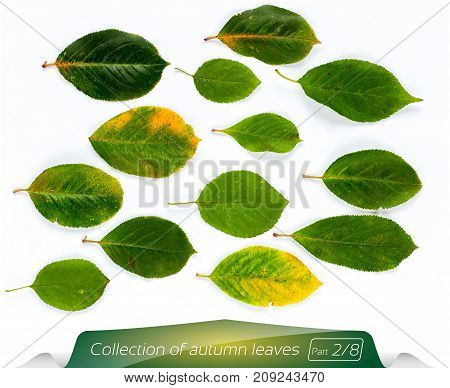Collection of green leaves in green light yellow leaves. Set of autumn leaves on a white background. Plants on the isolated white background. Autumn foliage from a tree in November.