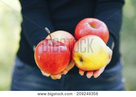 The girl is holding four ripe and fresh apples