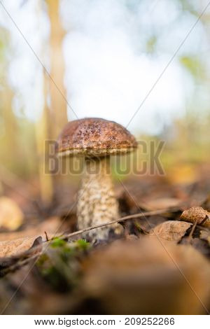 fresh edible mushroom in a forest in the nature .