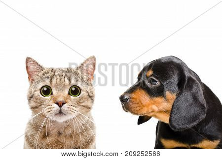 Portrait of Scottish Straight cat and curious puppy breed Slovakian Hound, isolated on white background