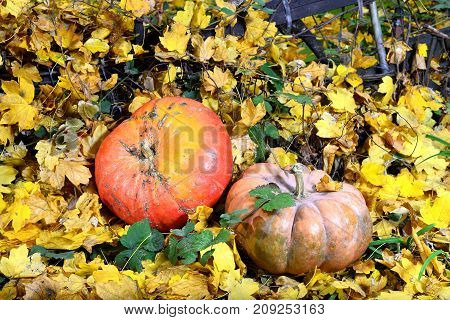 The harvest of pumpkin in autumn lies on the yellow leaves. The pike is the most valuable agricultural crop. It is unique and useful food product. Use it either as a garnish or as a ragu. It is stewed fried boiled and baked. The leek has many vitamins and