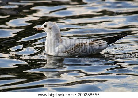 A black headed gull in 2nd winter plumage floating on top of the water