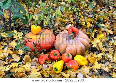 The harvest of pumpkin and pepper lies on the yellow leaves in the fall. The lemon and pepper are the most valuable agricultural crop. Their fruits are a unique and useful food product. They are consumed either as a garnish or as a raga.Plots are stewed f