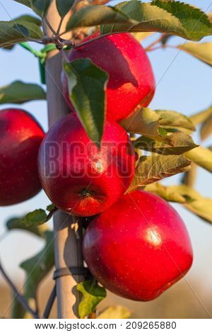 Orchard full of ripe and juicy apples in Central Poland Europe.