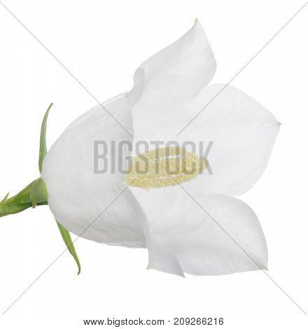 large bellflower isolated on white background