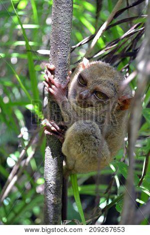 Philippine Tarsier In Cebu, The Philippines. Often Considered As The Smallest Monkey