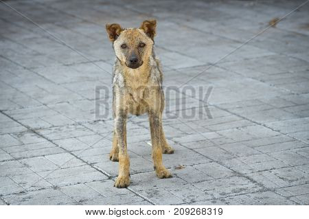 Cute stray dog recovered from ringworm standing on a pavement