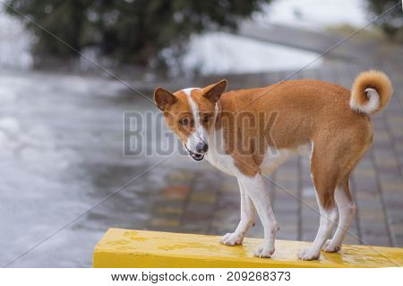 Basenji dog standing on a wet bench and become angry at master for stroll in so bad weather at winter season