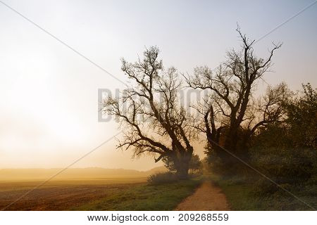 two old poplar trees with bare branches at a path next to a field in the misty morning sunrise light autumn landscape with copy space