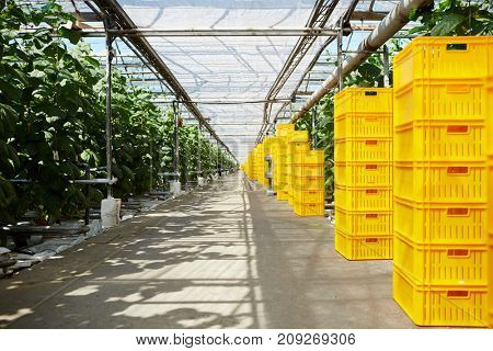 Stacks of yellow boxes standing along tomato plantation in greenhouse