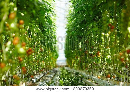 Aisle in hothouse dividing plantation of all year round grown tomatoes