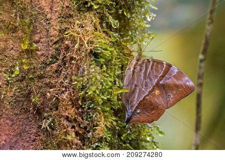 Closeup of Common Saturn butterfly perching on mossy tree at Kinabalu National Park, Malaysia (Zeuxidia amethystus amethystus)