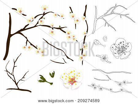 Prunus mume Outline - Chinese plum, Japanese apricot flower, Plum Blossom. Vector Illustration. isolated on white Background.