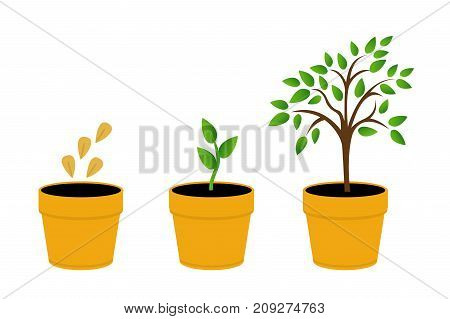 Phases plant growth. vector illustration tree with yellow leaves in the pot. Sprout in the ground. Flat style.