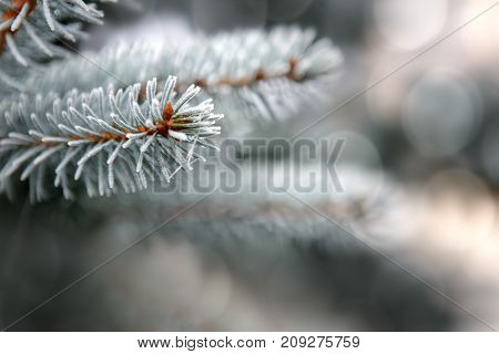 Christmas background.Pine branches isolated on gray bokeh background.Winter holiday background.