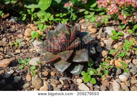 Dark green succulent with red spots and an edge on the leaves. On an alpine hill surrounded by stones and other plants.