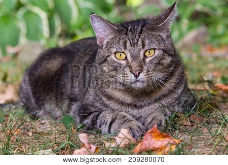 Close up shot of a silver tabby male cat with gold eyes (named Hawkeye) lying on the grass with fallen leaves all around.
