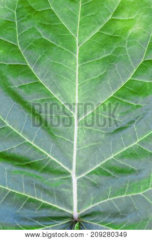 green leaf with streaks. background or natural texture