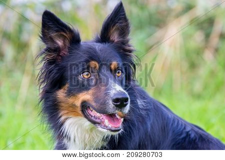Portrait head of Colored border collie dog in nature