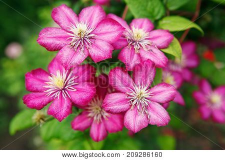 the Bush clematis flower pink outdoors in the summer