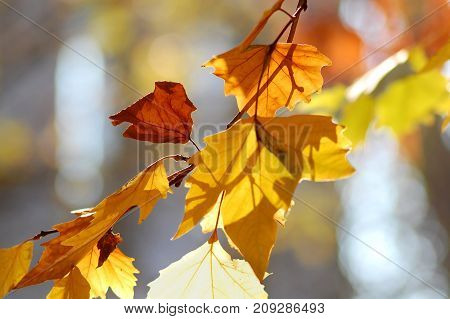 Golden Autumn Leaves Of Plane Tree And Fruits On Branches Of Tree At The Golden Hour. Beautiful Autu