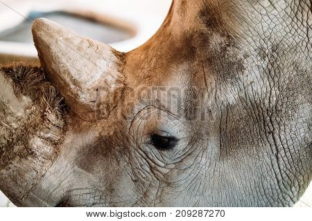 Portrait of close vew of head of rhinoceros endangered specie