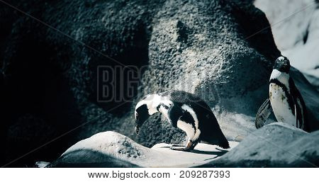 Portrait of two young penguins standing on rocky shore