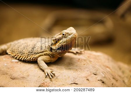 Picture of small flat-tailed desert horned lizard resting on rock
