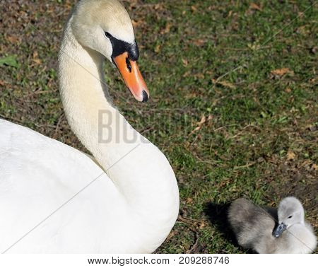 Mute Swan female with her tiny 3 day old Cygnet