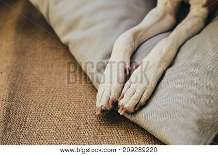 Close up shot of tiny little dog paws with white fur and claws resting on top of billow or wooden floor