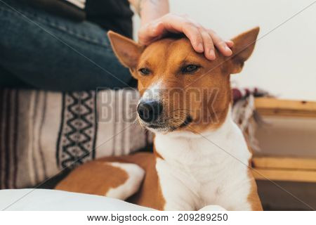 Woman pets and cuddles cute little adorable basenji puppy dog on native blanket background concept friendship and cuteness
