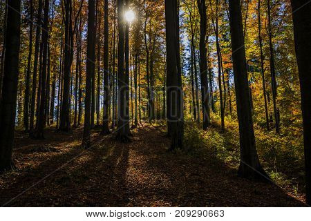 Golden shine autumn panorama scene in the forest, the morning sun shining through the trees, blue sky in background. Beskidy Mountains, Poland.