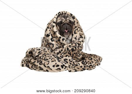 cute pug puppy dog sitting down rolled up in fuzzy blanket coughing having a cold isolated on white background