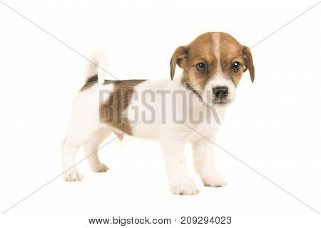 Cute brown and white jack russel terrier puppy seen from the side standing and facing the camera isolated on a white background