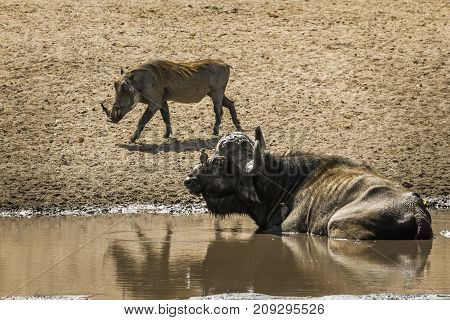 African buffalo and warthog in Kruger national park, South Africa ; Specie Syncerus caffer and Phacochoerus africanus