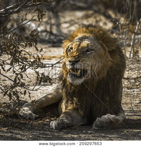 African lion in Kruger national park, South Africa Specie Panthera leo family of Felidae