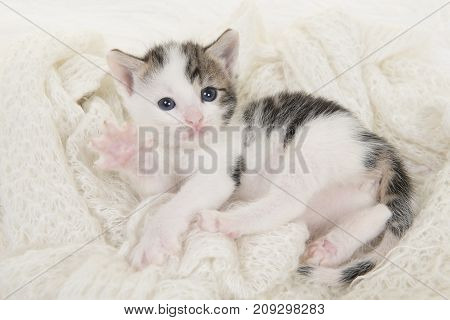 Cute tabby and white baby cat lying on its back playing on a off white background