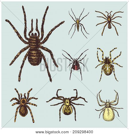 Spider or arachnid species, most dangerous insects in the world, old vintage for halloween or phobia design. hand drawn, engraved may use for tattoo, web and poison black widow, tarantula, birdeater.